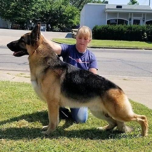 Grand Champion German Shepherd Stud - Alex